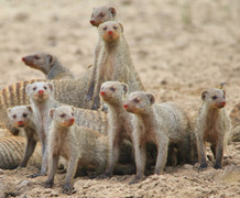 Banded mongoose_shutterstock main