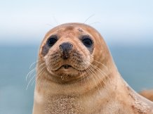 Grey seal Pixabay